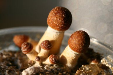 Psychedelic Mushrooms: Medicine and Healing
